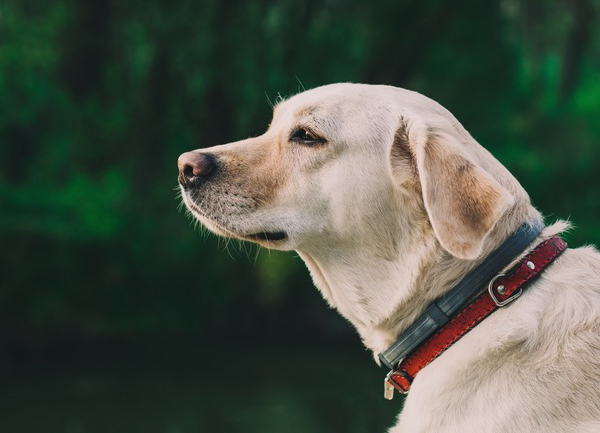 Seresto Dog Collar Reviews How Effective Is It